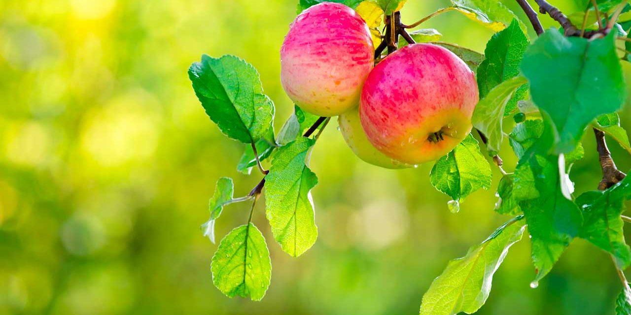 Comment choisir et planter un pêcher : planter des arbres fruitiers