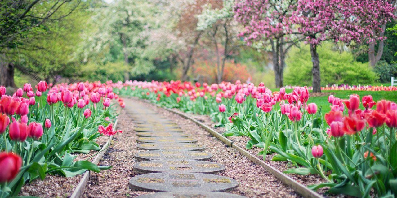 Comment cultiver les tulipes ?